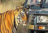 India Tiger Safari and Royal Cities